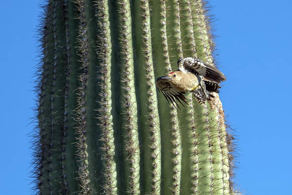 Photograph - Gila Woodpecker 7651-042119-1 by Tam Ryan