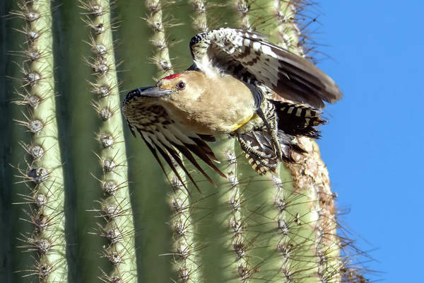 Photograph - Gila Woodpecker 7651-042119-1cr by Tam Ryan