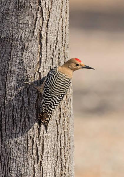 Photograph - Gila Woodpecker On A Tree by Loree Johnson