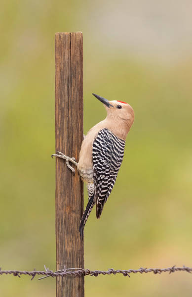 Just Birds Photograph - Gila Woodpecker On The Fence by Loree Johnson