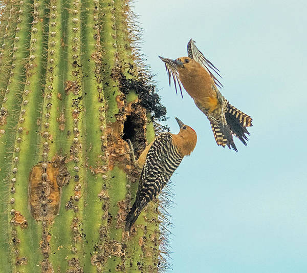 Wall Art - Photograph - Gila Woodpeckers 6490-061319 by Tam Ryan