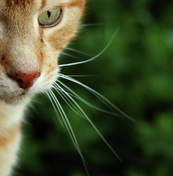 Staring Photograph - Ginger Cat Face by If I Were Going Photography - Leonie Poot