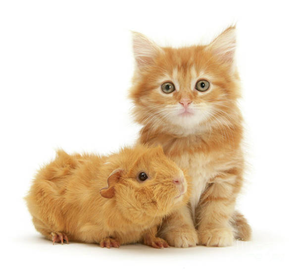 Photograph - Ginger Kitten And Guinea Friends by Warren Photographic