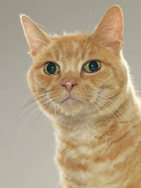 Ginger Cat Photograph - Ginger Tabby Cat, Portrait, Close-up by Michael Blann