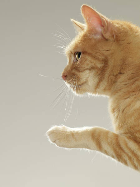 Ginger Cat Photograph - Ginger Tabby Cat Raising Paw, Close-up by Michael Blann
