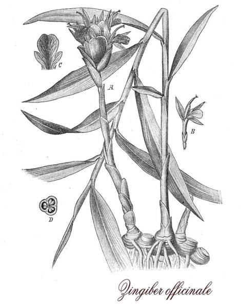Cultivation Digital Art - Ginger,botanical Vintage Engraving by Luisa Vallon Fumi