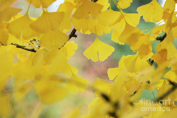 Photograph - Ginkgo Biloba Tremonia Leaves In Autumn by Tim Gainey
