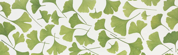 Wall Art - Photograph - Ginkgo Leaves by Panoramic Images