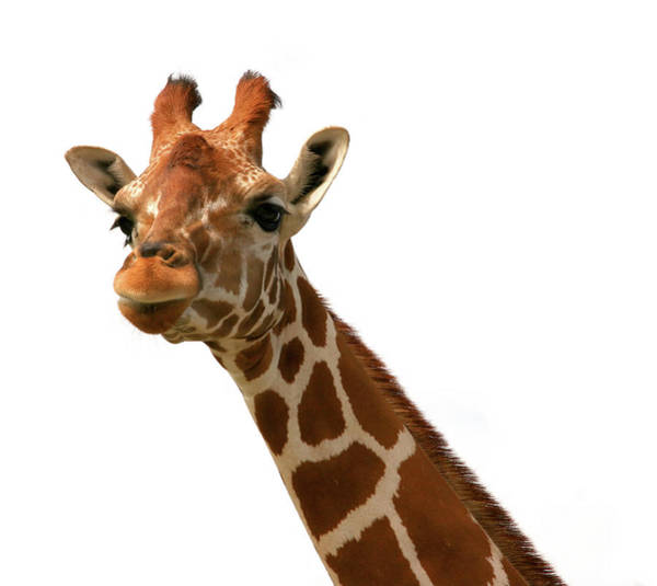 Safari Animal Photograph - Giraffe 1 by Jane