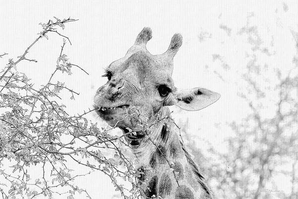 Photograph - Giraffe 195 - Sketch by Ericamaxine Price