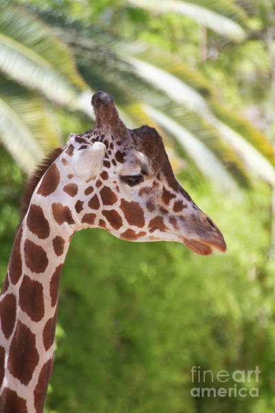 Wall Art - Photograph - Giraffe And Palm Fronds by Ruth Jolly
