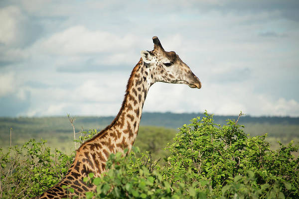 Tarangire Photograph - Giraffe At Tarangire by Photograph By Kyle Hammons