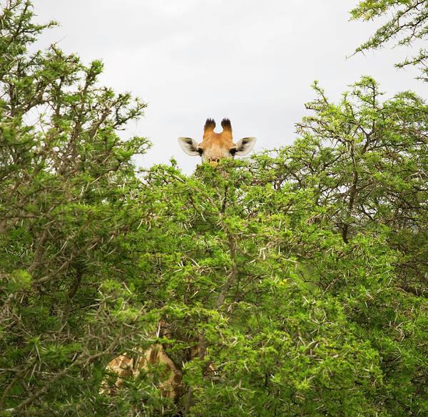 Hiding Photograph - Giraffe Behind Trees In Safari Park by Nick Dolding
