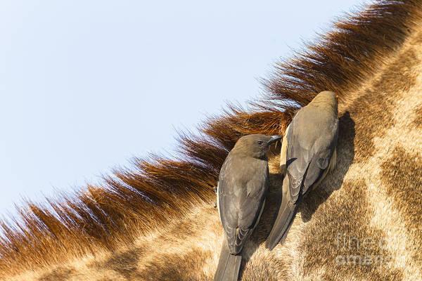 Wall Art - Photograph - Giraffe Birds Wildlife Animal Closeup by Chrisvanlennepphoto
