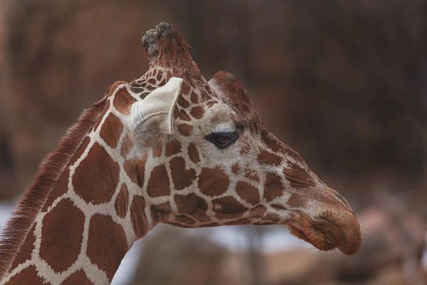 Photograph - Giraffe  by Brian Cross