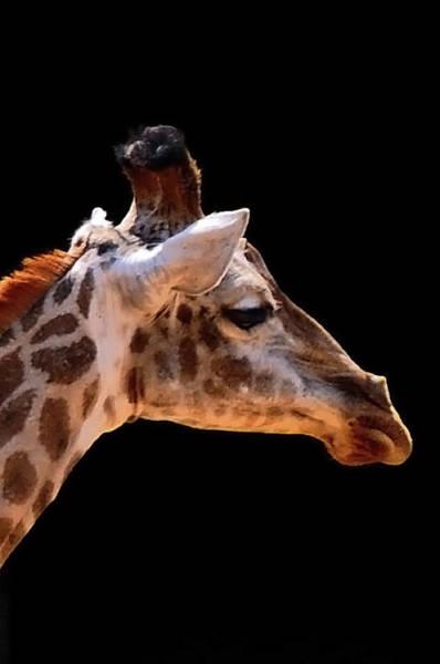 Brazil Photograph - Giraffe by By Eugenio Carrer São Paulo Brazil