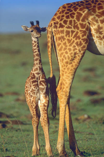 Wall Art - Photograph - Giraffe Calf And Mother, Africa by Tim Fitzharris