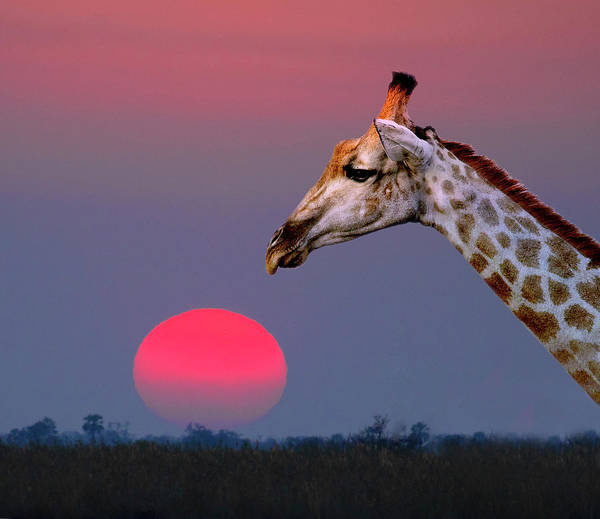 Photograph - Giraffe Composite by John Rodrigues