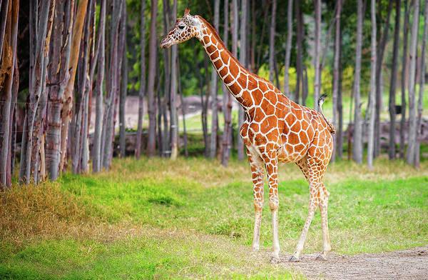 Giraffe Photograph - Giraffe by Daniel Stoychev Photography