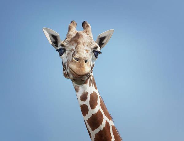 Giraffe Photograph - Giraffe by Hollenderx2