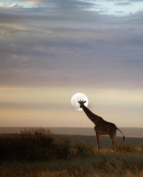 Savannah Photograph - Giraffe In Savannah, Moonrise by Grant Faint