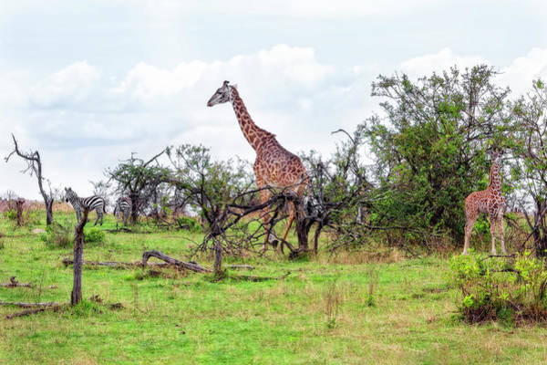 Photograph - Giraffe Landscape by Kay Brewer