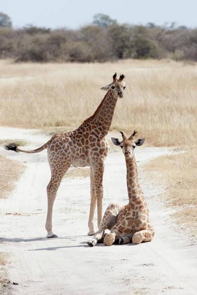 Chobe National Park Wall Art - Photograph - Giraffe by Obliot