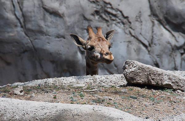 Photograph - Giraffe Peek by David Resnikoff