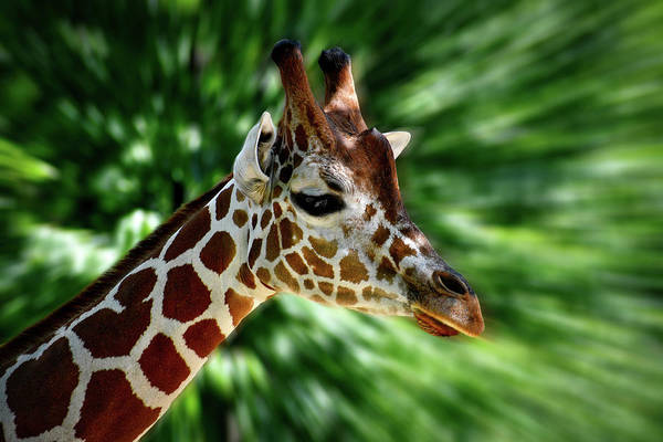 Wall Art - Photograph - Giraffe Portrait by Thomas Woolworth