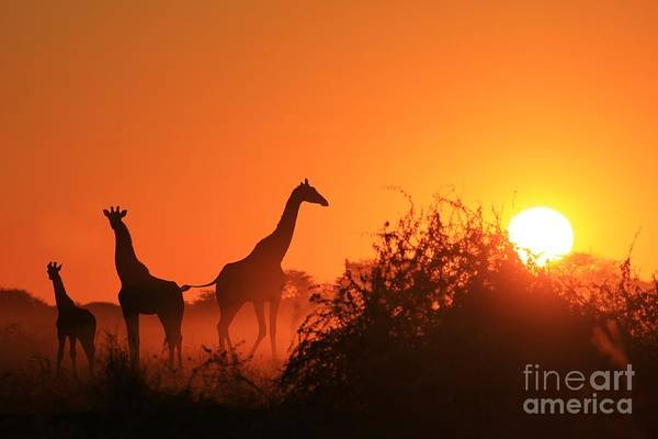 Wall Art - Photograph - Giraffe Silhouette - African Wildlife by Stacey Ann Alberts