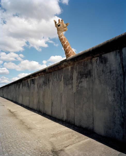 Watching Photograph - Giraffe Watching Over Cement Wall by Matthias Clamer