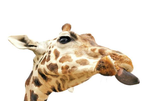 Safari Animal Photograph - Giraffe With Put Out Tongue by Kittisuper