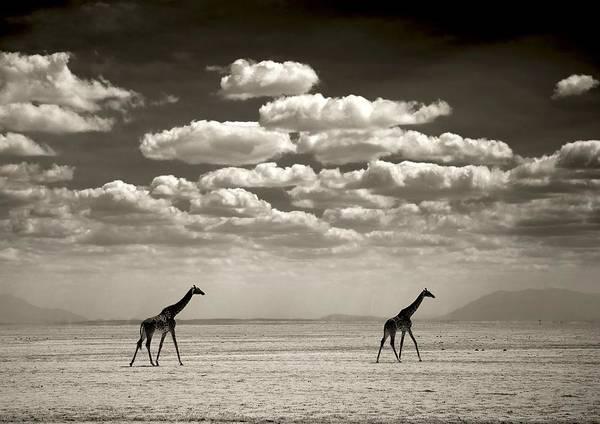 Photograph - Giraffes, Amboseli Park In Kajiado by Eric Lafforgue