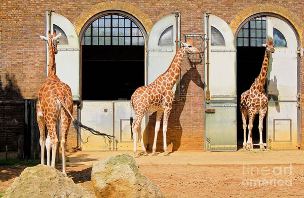 Zoological Photograph - Giraffes At The London Zoo In Regent by Kamira