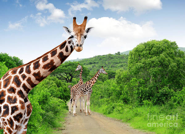 Reserve Wall Art - Photograph - Giraffes In Kruger Park South Africa by Jaroslava V