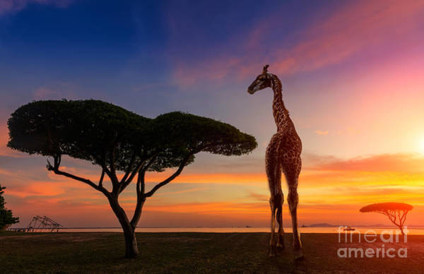 Reserve Wall Art - Photograph - Giraffes In The Savannah At Sunset by Weerasak Saeku