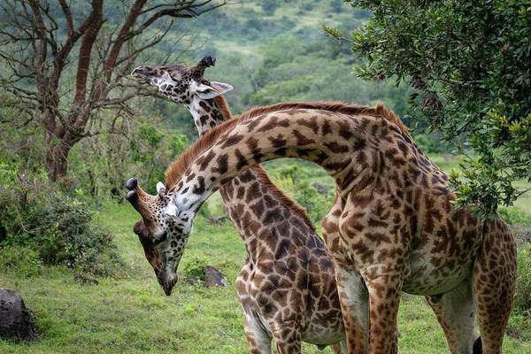 Photograph - Giraffes Neck Wrestling by Mary Lee Dereske