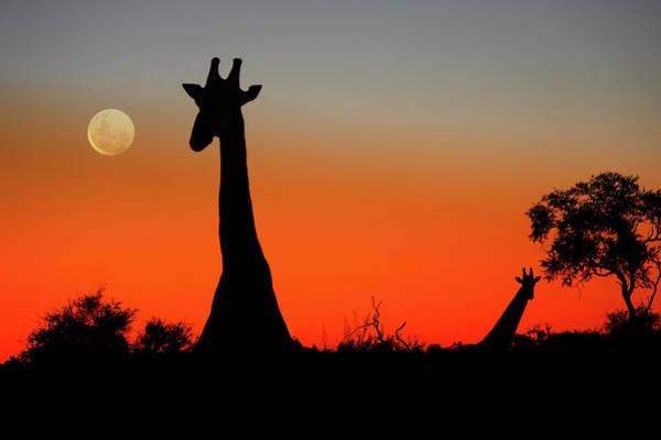 Chobe National Park Wall Art - Photograph - Giraffes by Steve Allen