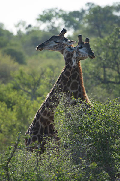 Photograph - Giraffes Together by Mark Hunter