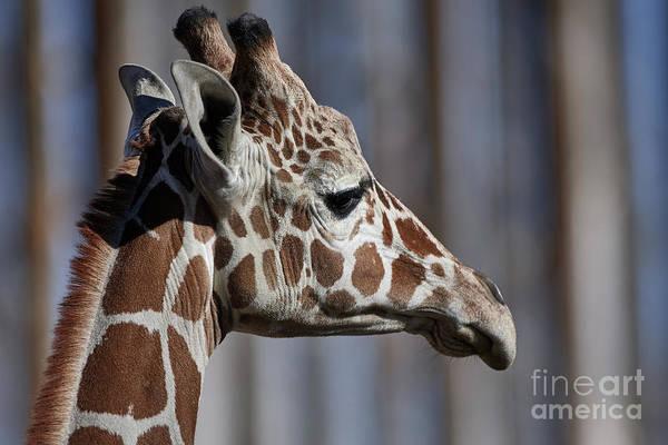 Photograph - Giraffidae by Robert WK Clark