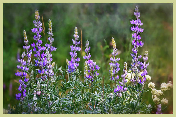 Photograph - Glacier Bouquet Of Lupins  by Harriet Feagin