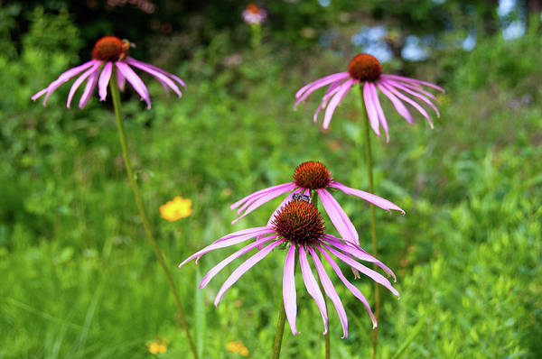 Photograph - Glade Coneflower by Steve Stuller