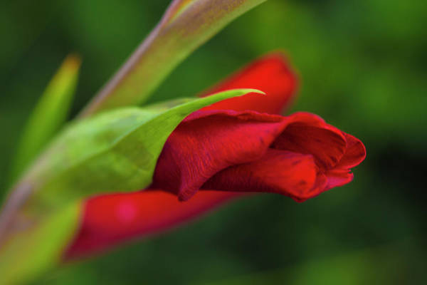 Photograph - Gladiolus by Diane Fifield