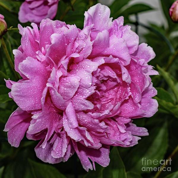 Wall Art - Photograph - Glamour Gal Sarah Bernhardt Double Peony by Cindy Treger