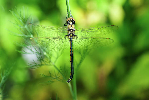 Wing Back Photograph - Glass Wing Dragon Fly by John Clutterbuck