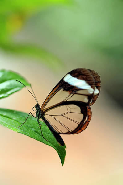 Butterfly Photograph - Glasswing Butterfly Greta Oto, Septemer by Cora Niele