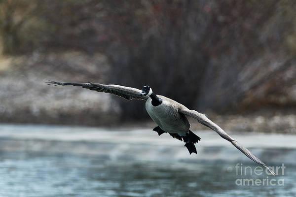 Photograph - Gliding Goose by Robert WK Clark