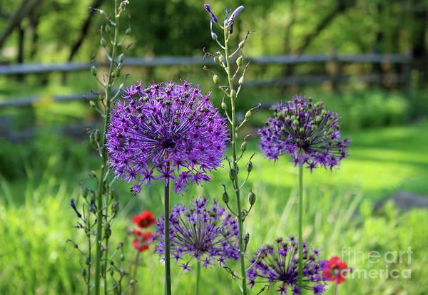 Photograph - Globe Allium Garden by Karen Adams