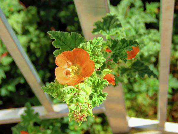 Photograph - Globemallow Coming Through by Judy Kennedy
