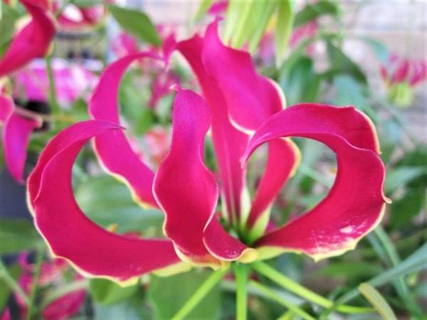 Photograph - Gloriosa by Rosita Larsson